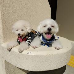 LIMIAペット同好会/LIMIAおでかけ部/フォロー大歓迎/ペット/ペット仲間募集/犬/... ぷてぃくら、お散歩🐾 眩しくて、お目々👀…