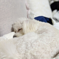LIMIAペット同好会/ペット/ペット仲間募集/犬/わんこ同好会/おやすみショット/... ♥ ٩̋(๑˃́ꇴ˂̀๑)きゃわ