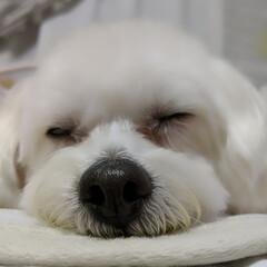 LIMIAペット同好会/ペット/ペット仲間募集/犬/わんこ同好会/おやすみショット/...        *💜 * 💗*     …