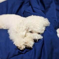 LIMIAペット同好会/ペット/ペット仲間募集/犬/わんこ同好会/おやすみショット/... かわいい😍寝顔😪😴💤