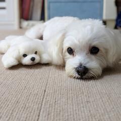 LIMIAペット同好会/ペット/ハンドメイド/ペット仲間募集/犬/わんこ同好会/... どっちがプティだぁ〜❓🤔🤔🤔 分かったか…
