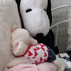 ありがとう平成/令和の一枚/LIMIAペット同好会/わんこ同好会/おやすみショット/ぷてぃくら/... 顎上向き寝😪😴💤パート③