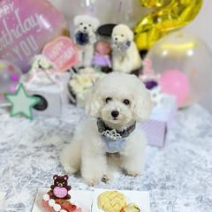 LIMIAペット同好会/ペット/ペット仲間募集/犬/わんこ同好会/うちの子ベストショット/... 今日、くらん2歳のお誕生日でした😊 お誕…