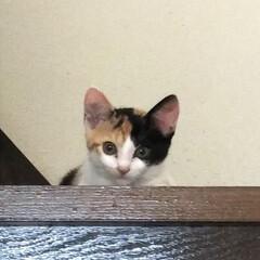 三毛猫のおんなのこ/子猫/LIMIAペット同好会/にゃんこ同好会/うちの子ベストショット 朝、階段の掃除をしている私の手元を狙って…