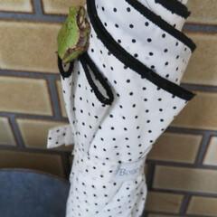 アマガエル/雨模様/夏のお気に入り 今日は雨です。 仕事に行こうと傘を手に取…