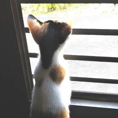 子猫/三毛猫のおんなのこ/LIMIAペット同好会/にゃんこ同好会/うちの子ベストショット 勝手口を網戸にしてるとミミたん、じーっと…