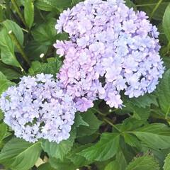 八重咲き額紫陽花/八重咲き紫陽花 ちょっと、変わった八重咲きの紫陽花と額紫…