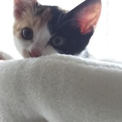 キャットタワー/子猫/三毛猫のおんなのこ/LIMIAペット同好会/にゃんこ同好会/うちの子ベストショット キャットタワーのてっぺん 朝、仕事に出掛…(4枚目)