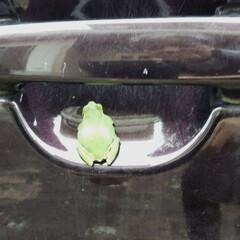 大好き雨蛙 朝、仕事に行こうと車のドアを開けよとした…
