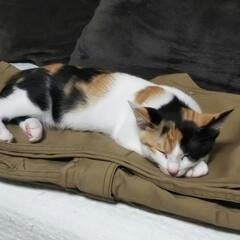 三毛猫のおんなのこ/子猫/LIMIAペット同好会/にゃんこ同好会 アイロンかけたばかりの主人のパンツの上で…