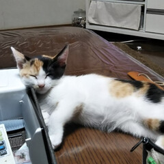 三毛猫/子猫/LIMIAペット同好会/にゃんこ同好会/うちの子ベストショット いっぱい、遊んで いっぱい、ねんね 食欲…