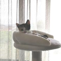 キャットタワー/子猫/三毛猫のおんなのこ/LIMIAペット同好会/にゃんこ同好会/うちの子ベストショット キャットタワーのてっぺん 朝、仕事に出掛…(3枚目)