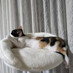 キャットタワー/子猫/三毛猫のおんなのこ/LIMIAペット同好会/にゃんこ同好会/うちの子ベストショット キャットタワーのてっぺん 朝、仕事に出掛…(1枚目)