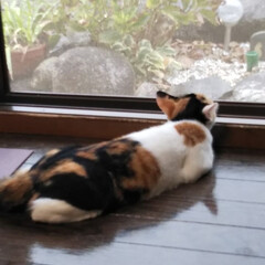 お外気になる/三毛猫のおんなのこ/子猫/LIMIAペット同好会/にゃんこ同好会/夏模様 お盆真っ只中、連日猛暑で、雨が恋しいと思…