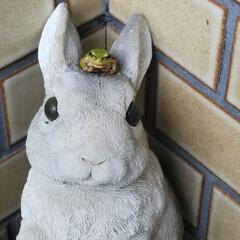 大好き雨蛙 傘立てに飾ってあるウサギさんの頭に雨蛙さ…