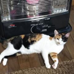 三毛猫のおんなのこ/初めてストーブ だんだん、秋深くなり朝晩はだいぶ冷え込む…