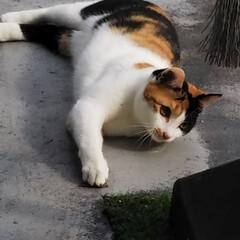 にゃんこ大好き/三毛猫のおんなのこ 先週の週末は気持ち悪いほど暖かくて、 そ…