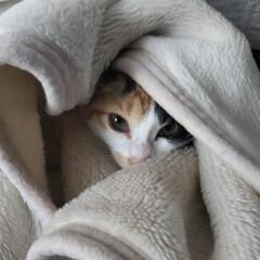 三毛猫のおんなのこ/子猫/LIMIAペット同好会/にゃんこ同好会/うちの子ベストショット 蒸し蒸しするのでエアコンを除湿モードにし…