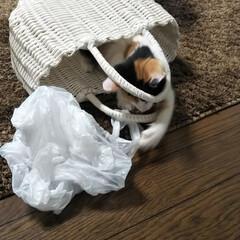 子猫/スーパーの袋/カゴ/LIMIAペット同好会/にゃんこ同好会/うちの子自慢 おてんばの上にいたずらっ子 カゴ、スーパ…