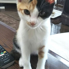 三毛猫のおんなのこ/子猫/LIMIAペット同好会/にゃんこ同好会/うちの子ベストショット 朝ごはんを食べている私を じーっと見つめ…