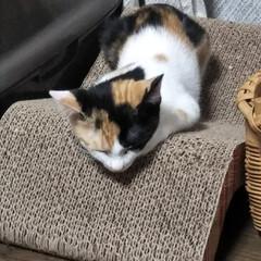 三毛猫のおんなのこ/子猫/LIMIAペット同好会/にゃんこ同好会/うちの子ベストショット 本日も遊び疲れて、爪研ぎの上でねんねして…