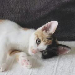 子猫/LIMIAペット同好会/にゃんこ同好会/うちの子自慢 我が家に来て、もうすぐ  2ヵ月になりま…