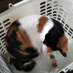 三毛猫のおんなのこ/猫のいる暮らし 洗濯物を入れるかごが空になると必ず入って…