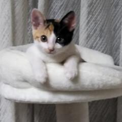 キャットタワー/子猫/三毛猫のおんなのこ/LIMIAペット同好会/にゃんこ同好会/うちの子ベストショット キャットタワーのてっぺん 朝、仕事に出掛…(2枚目)