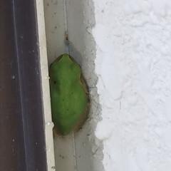 アマガエル/猛暑/夏のお気に入り 毎日の暑さにアマガエルも必死で隠れるとこ…