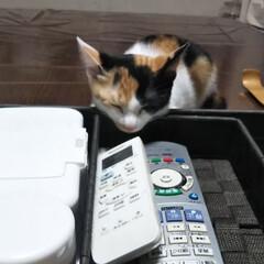 三毛猫のおんなのこ/子猫/LIMIAペット同好会/にゃんこ同好会/うちの子ベストショット アゴを乗せて… 寝ちゃいました💓