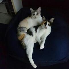 姉妹/三毛猫/フォロー大歓迎/ペット/ペット仲間募集/猫/... 今日の一句  さり気なく美脚アピールりん…
