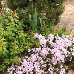 コニファー/芝桜/チューリップ 我が家の チューリップ🌷が咲き始めました…