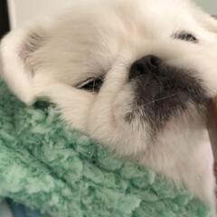 ブサかわ/鼻ぺちゃ犬/ペキニーズ/フォロー大歓迎/はじめてフォト投稿/ペット/... もちもちほっぺ( ˊᵕˋ )(4枚目)