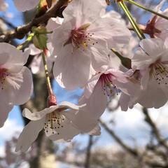 お花見/桜/春うらら いつもの吉原分校から近くを探索していたら…