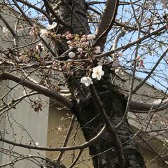お花見/春うらら/桜 職場の桜🌸 まだこんな感じです。 昨日は…