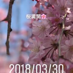 一年生/卒業/出会い/別れ/春/桜 🌸桜🌸 綺麗 癒されます❣️ 春満開 爛…