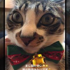 クリスマス/家族/ペット/猫 クリスマスカラー首輪🎄つけたら まじ固ま…(2枚目)