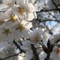 一年生/卒業/出会い/別れ/春/桜 🌸桜🌸 綺麗 癒されます❣️ 春満開 爛…(4枚目)