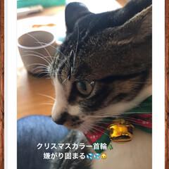 クリスマス/家族/ペット/猫 クリスマスカラー首輪🎄つけたら まじ固ま…(1枚目)