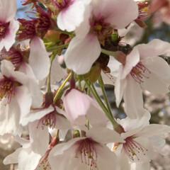 一年生/卒業/出会い/別れ/春/桜 🌸桜🌸 綺麗 癒されます❣️ 春満開 爛…(3枚目)