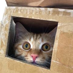 茶トラ/茶トラ男子部/保護猫/ペット仲間募集/猫/にゃんこ同好会 子供のために作ったダンボールバス🚍 只今…