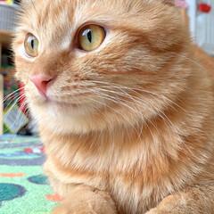 ペット/猫/保護猫/茶トラ (1枚目)