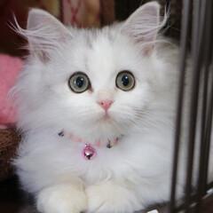 チンチラシルバー/ペルシャチンチラ/猫好き/ペルシャ猫/cat/子猫/... お迎えした頃のメル💕