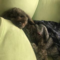 ダップー/MIX犬/犬/わんこ/枕/お昼寝/... 枕は必須のラルフ( *¯ ⁻̫ ¯*)🌙…