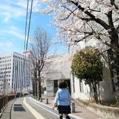 大阪/高槻/良い天気/青空/春色/ウォーキング/... 昨日はとっても良い天気☀ 通りの桜が満開…