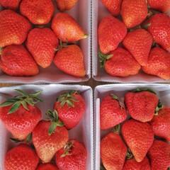 苺パック/徳島県/たくさん/美味しい/苺たくさん/お取り寄せ/... 形は不揃いだけど 大きくて甘〜い さくら…