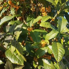 季節感/記念樹/キンモクセイ/植木 娘が産まれたときに植えた 記念樹の『キン…