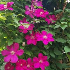 ガーデニング/庭/クレマチス クレマチスが いい感じに咲いてました(*…(2枚目)