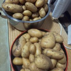 家庭菜園/新じゃがいも 小2の息子と 今年も一緒に芋掘りしたかっ…(1枚目)