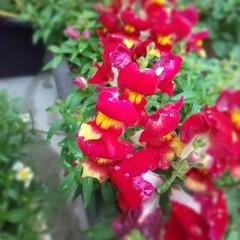 ガーデニング/母の日/暮らし/金魚草 毎年植えている 「きんぎょそう」です。 …